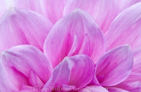 A beautiful dahlia is a work of art---by nature. It looks as if it's been painted.