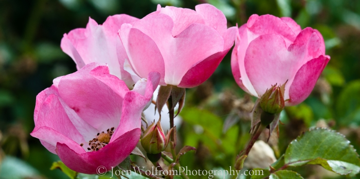 Flowers pretty in pink joen wolfrom photography cluster mightylinksfo Choice Image